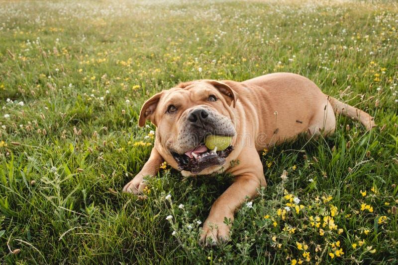 Καφετί corso καλάμων σκυλιών στοκ φωτογραφίες