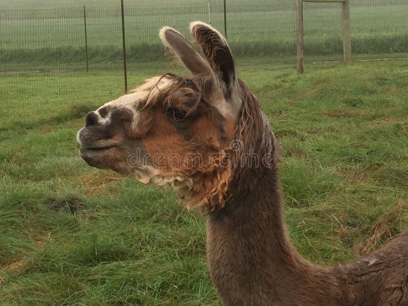 Καφετί llama στοκ φωτογραφίες