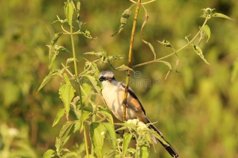 Καφετί Shrike στοκ φωτογραφίες με δικαίωμα ελεύθερης χρήσης