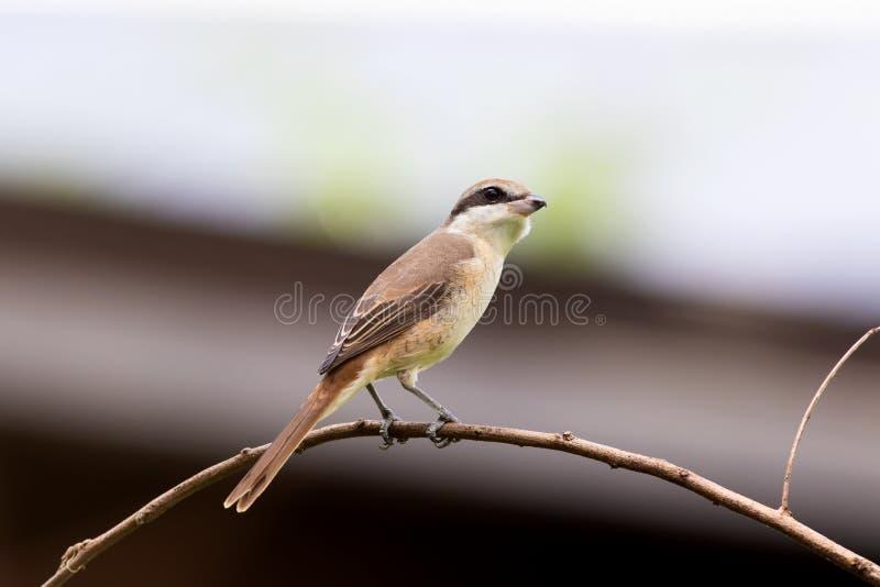 Καφετί Shrike (cristatus Lanius) στοκ εικόνα