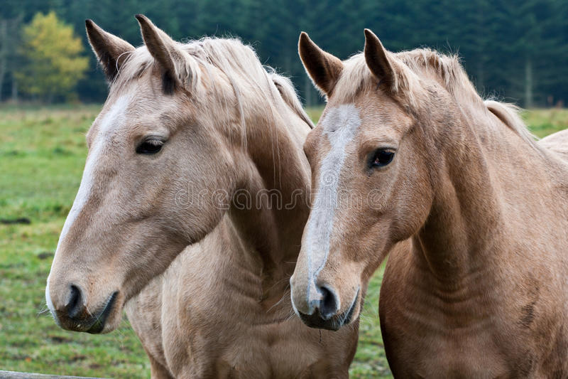 καφετιά άλογα δύο στοκ φωτογραφία με δικαίωμα ελεύθερης χρήσης
