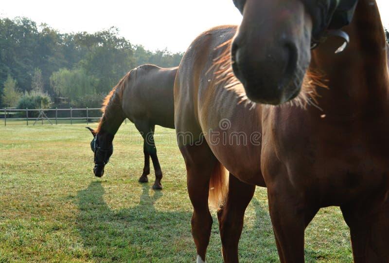 καφετιά άλογα στοκ φωτογραφία με δικαίωμα ελεύθερης χρήσης