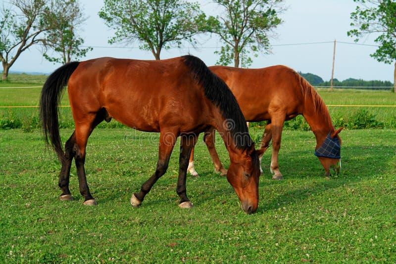 καφετιά άλογα στοκ εικόνες με δικαίωμα ελεύθερης χρήσης