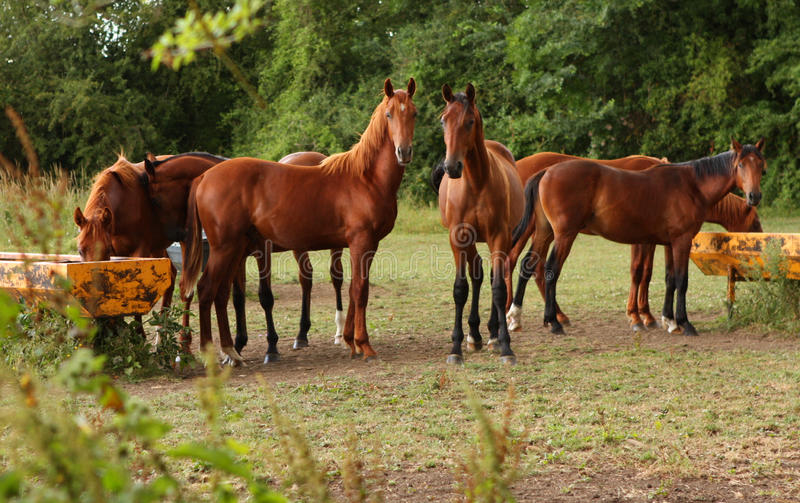Καφετιά άλογα σε έναν τομέα στοκ φωτογραφία με δικαίωμα ελεύθερης χρήσης