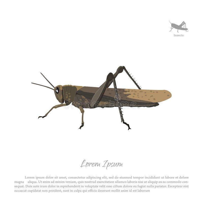 Καφετιά ακρίδα σε ένα άσπρο υπόβαθρο Grasshopper εικόνας πλάγια όψη διανυσματική απεικόνιση