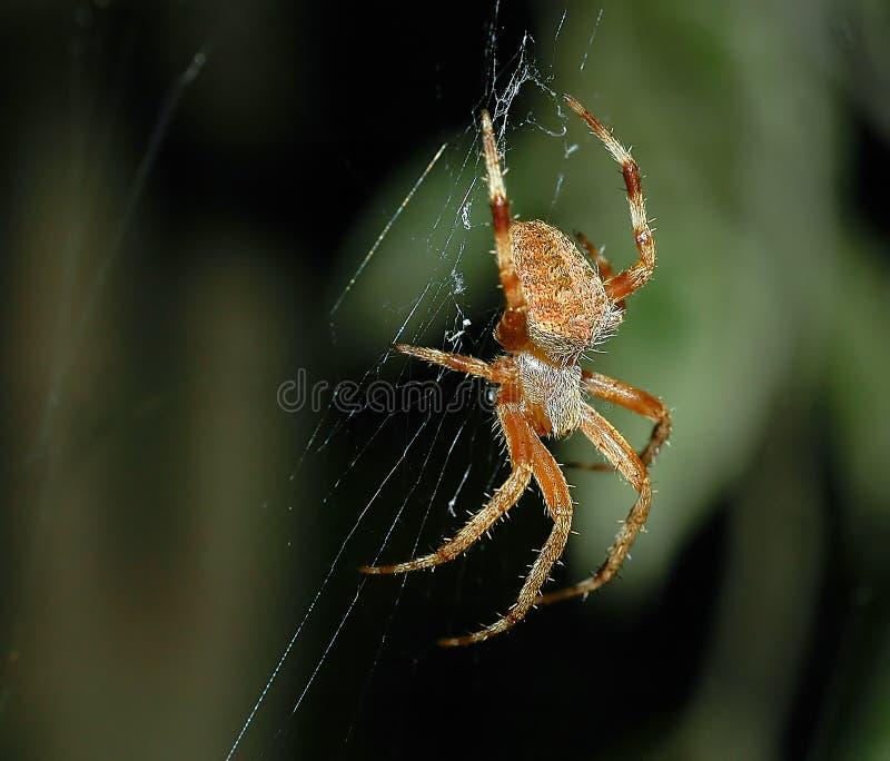 καφετιά αράχνη Στοκ φωτογραφίες με δικαίωμα ελεύθερης χρήσης