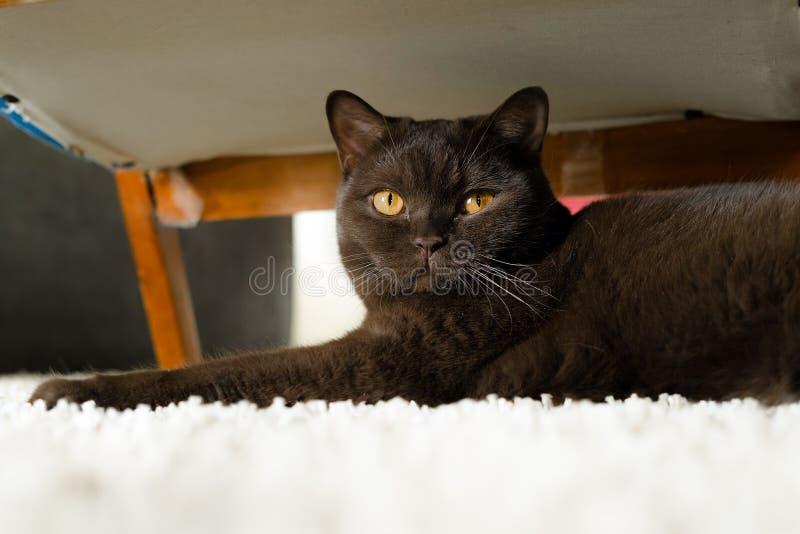 Καφετιά βρετανική κοντή γάτα τρίχας που βάζει στον τάπητα κάτω από μια εκλεκτής ποιότητας πολυθρόνα Εύθυμη γάτα που εξετάζει τη κ στοκ εικόνα