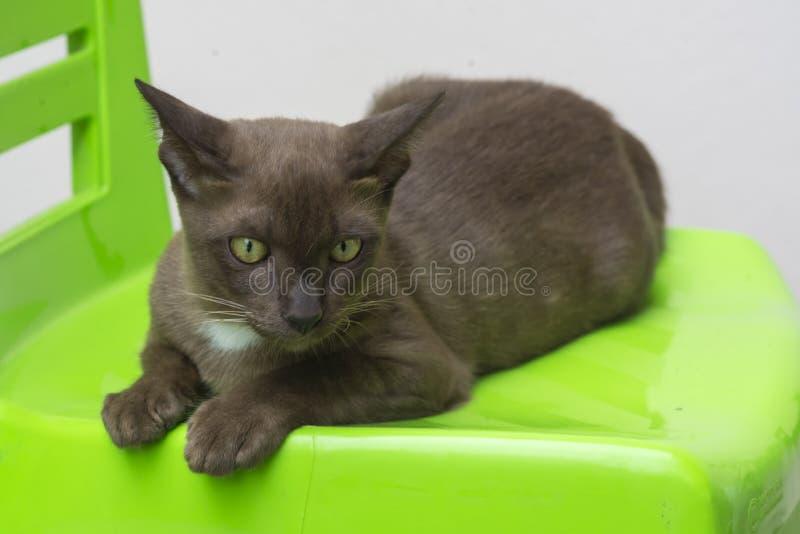 Καφετιά γάτα στην πράσινη καρέκλα στοκ εικόνες