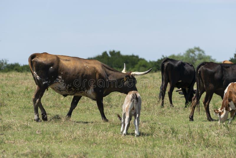 Καφετιά και άσπρη αγελάδα με τα μακριά κέρατα που περπατούν από το μόσχο στοκ φωτογραφία