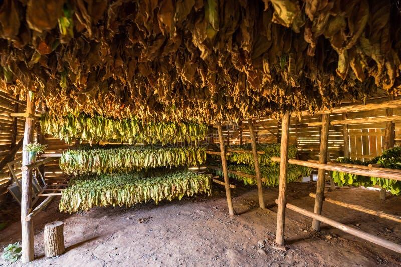 Καφετιά ξηρά φύλλα καπνών σε μια σιταποθήκη στην Κούβα στοκ φωτογραφία με δικαίωμα ελεύθερης χρήσης