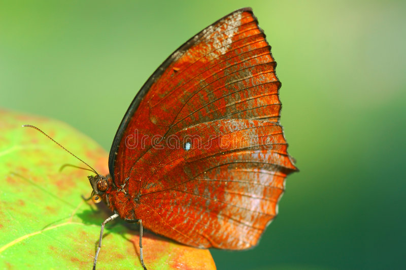 καφετιά πεταλούδα στοκ φωτογραφία με δικαίωμα ελεύθερης χρήσης