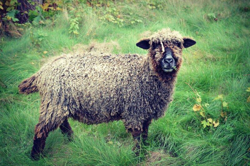 Καφετιά πρόβατα στοκ φωτογραφίες με δικαίωμα ελεύθερης χρήσης