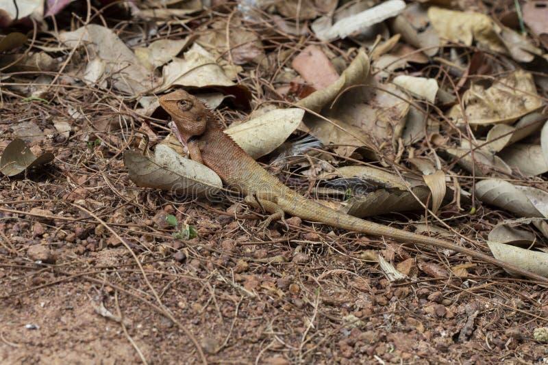 Καφετιά σαύρα στην ξηρά χλόη της τροπικής δασικής εξωτικής κάλυψης iguana Εξωτικό ζώο στην άγρια φύση στοκ φωτογραφίες