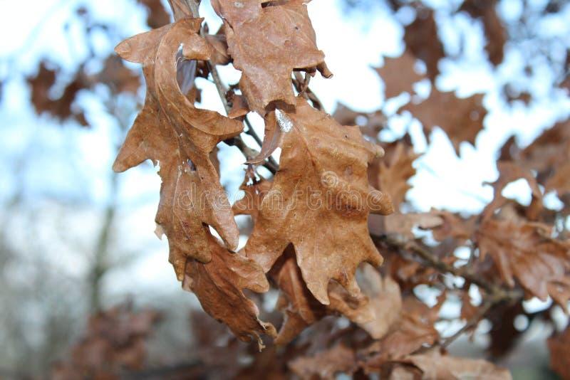Καφετιά φύλλα στοκ εικόνες με δικαίωμα ελεύθερης χρήσης