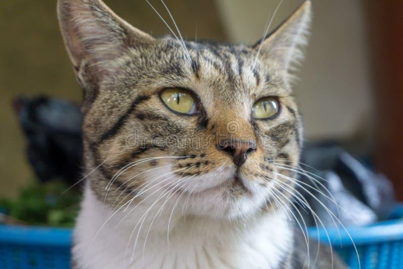 Καφετιά brindle γάτα σχεδίων με τα άνισα μάτια που κοιτάζει κάτι στοκ φωτογραφία με δικαίωμα ελεύθερης χρήσης