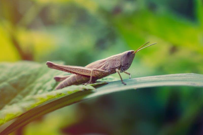 Καφετιά grasshopper συνεδρίαση στο πράσινο φύλλο στοκ εικόνες