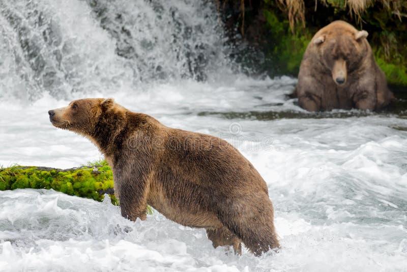 Καφετιές αρκούδες στις πτώσεις ποταμών ρυακιών στοκ εικόνες