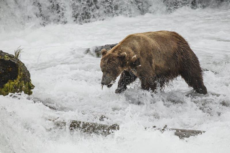 Καφετιές αρκούδες Katmai  Πτώσεις ρυακιών  Αλάσκα  ΗΠΑ στοκ φωτογραφίες με δικαίωμα ελεύθερης χρήσης