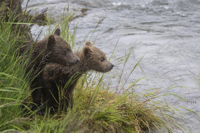 Καφετιές αρκούδες Katmai  Πτώσεις ρυακιών  Αλάσκα  ΗΠΑ στοκ φωτογραφία με δικαίωμα ελεύθερης χρήσης