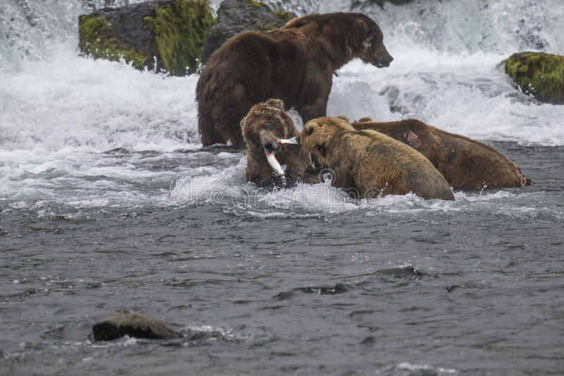 Καφετιές αρκούδες Katmai  Πτώσεις ρυακιών  Αλάσκα  ΗΠΑ στοκ εικόνες