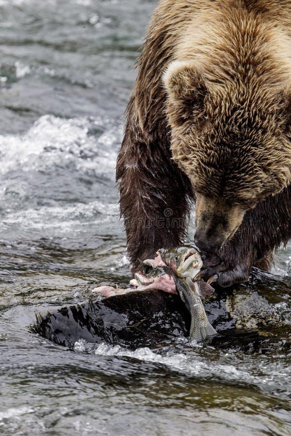 Καφετιές αρκούδες Katmai  Πτώσεις ρυακιών  Αλάσκα  ΗΠΑ στοκ εικόνα