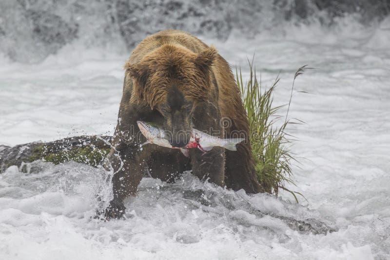 Καφετιές αρκούδες Katmai  Πτώσεις ρυακιών  Αλάσκα  ΗΠΑ στοκ εικόνες με δικαίωμα ελεύθερης χρήσης