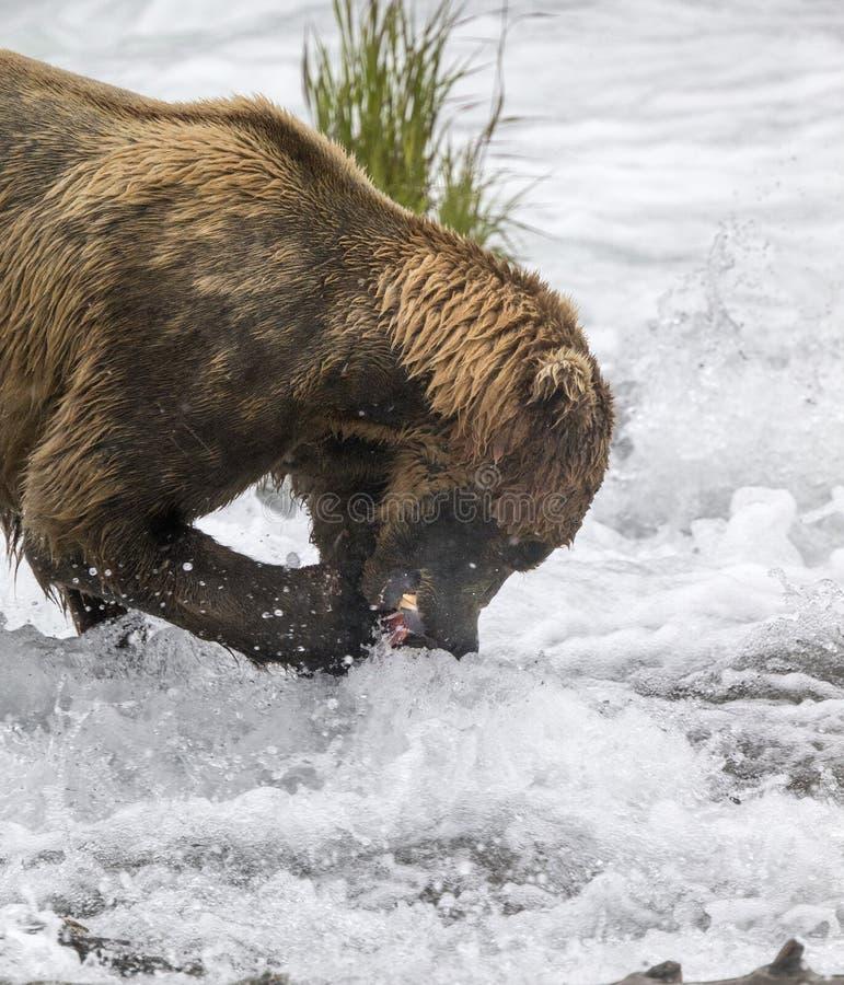 Καφετιές αρκούδες Katmai  Πτώσεις ρυακιών  Αλάσκα  ΗΠΑ στοκ εικόνα με δικαίωμα ελεύθερης χρήσης