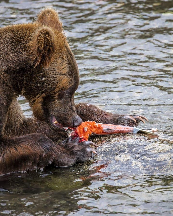 Καφετιές αρκούδες Katmai  Πτώσεις ρυακιών  Αλάσκα  ΗΠΑ στοκ φωτογραφίες