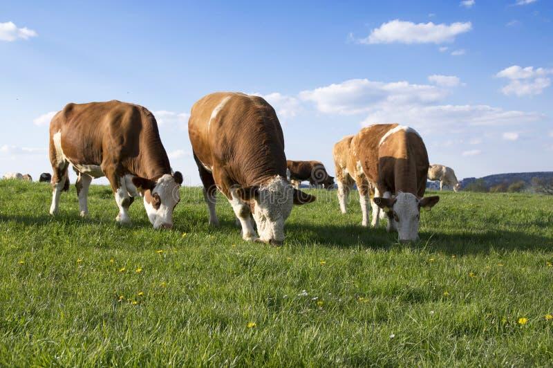 Καφετιές και άσπρες αγελάδες στο λιβάδι στοκ εικόνες
