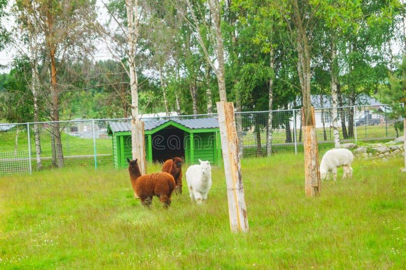 Καφετιές και άσπρες προβατοκάμηλοι σε έναν ζωολογικό κήπο στην Καρελία στοκ φωτογραφίες