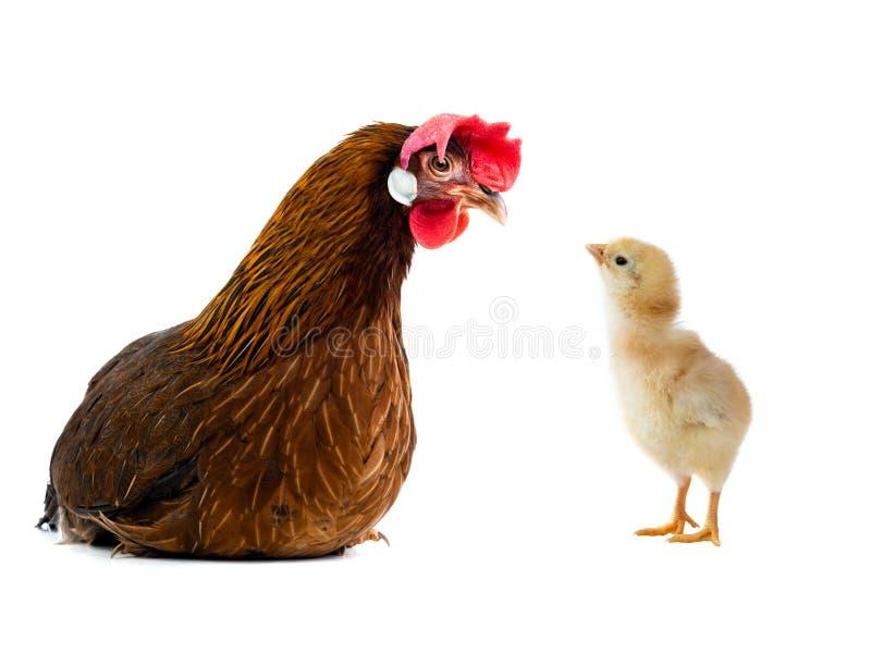 Καφετιοί κότα και νεοσσός που απομονώνονται στοκ φωτογραφία