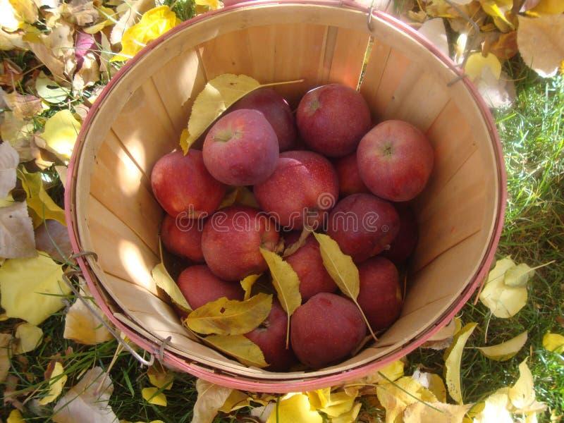 Καλάθι μπούσελ των κόκκινων μήλων στοκ εικόνα με δικαίωμα ελεύθερης χρήσης