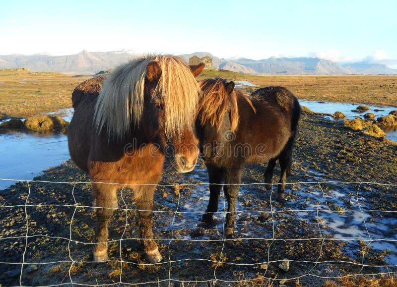 Καλά ισλανδικά άλογα μητέρων και μωρών, Ισλανδία στοκ φωτογραφίες με δικαίωμα ελεύθερης χρήσης