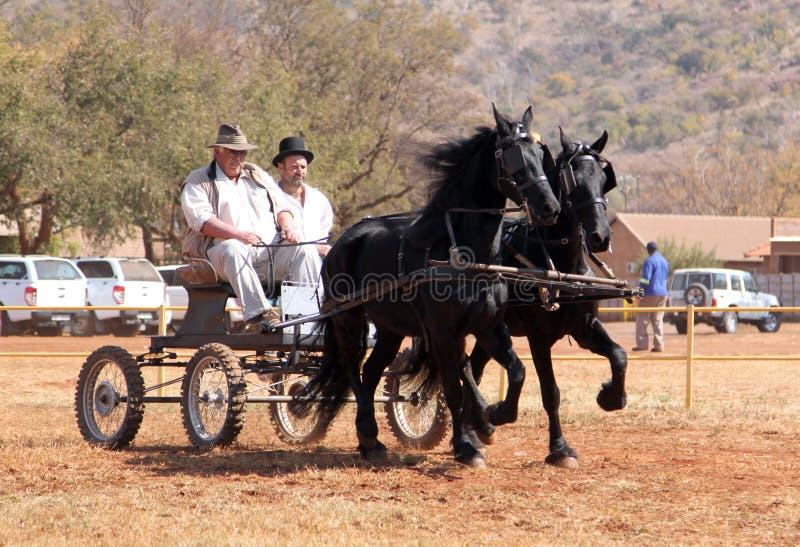 Καλά καλπάζοντας μαύρα φρισλανδικά άλογα που τραβούν το κάρρο στοκ εικόνες