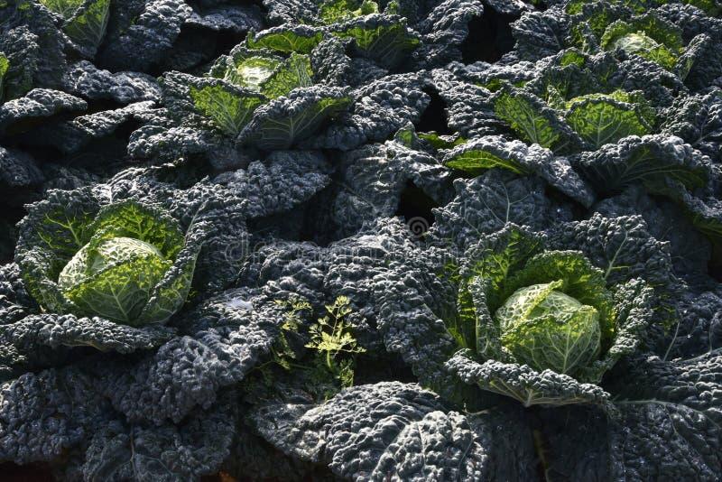 Καλλιέργεια λάχανων στοκ φωτογραφίες