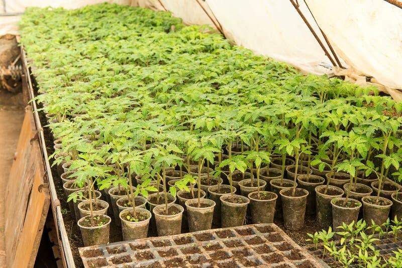καλλιέργεια θερμοκηπίων των ντοματών στο agricultu στοκ φωτογραφία