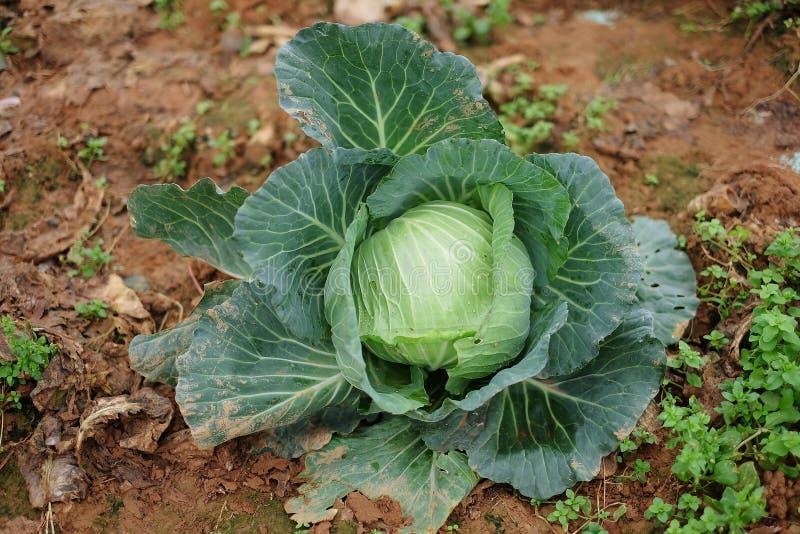 Καλλιέργεια του λάχανου στο βουνό στοκ φωτογραφία με δικαίωμα ελεύθερης χρήσης