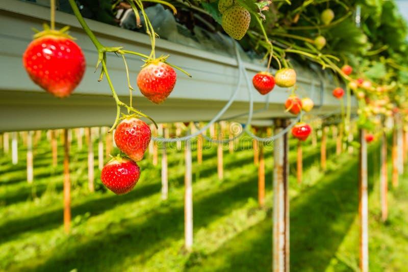 Καλλιέργεια φραουλών υπαίθρια στοκ φωτογραφίες