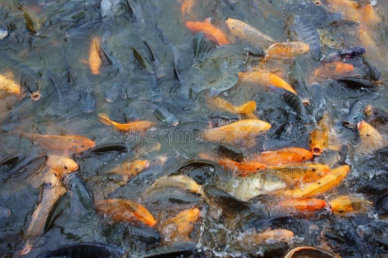 Καλλιέργεια ψαριών του Βιετνάμ στοκ φωτογραφία