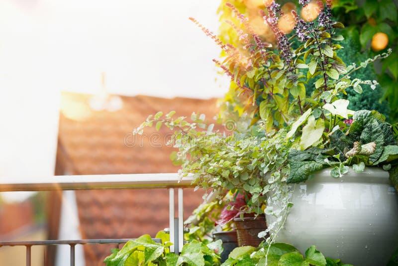 Καλλιεργητής λουλουδιών στο μπαλκόνι ή πεζούλι στο φως ηλιοβασιλέματος Αστική κηπουρική εμπορευματοκιβωτίων στοκ εικόνες