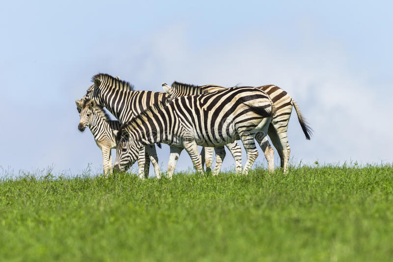 Καλοκαίρι μόσχων Zebras στοκ εικόνες με δικαίωμα ελεύθερης χρήσης