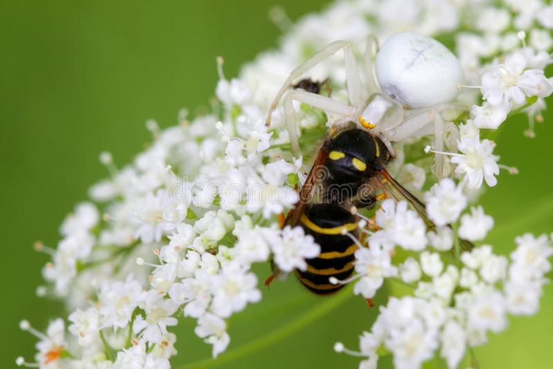 Καλυμμένα αράχνη και θήραμα καβουριών στοκ εικόνα με δικαίωμα ελεύθερης χρήσης