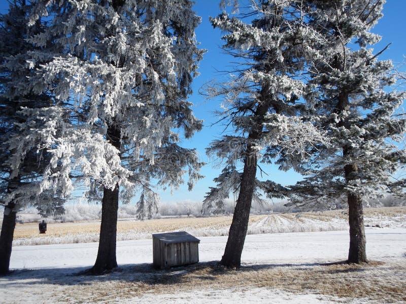 Καλυμμένα παγετός πεύκα από τον τομέα καλαμποκιού στοκ φωτογραφία με δικαίωμα ελεύθερης χρήσης