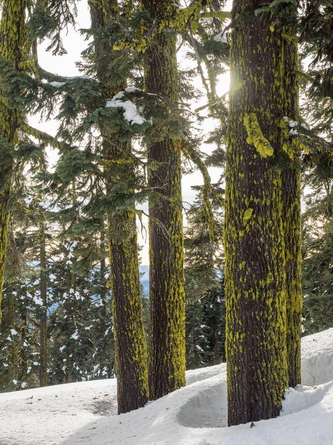 Καλυμμένοι βρύο κορμοί δέντρων στο χιόνι στοκ εικόνες με δικαίωμα ελεύθερης χρήσης
