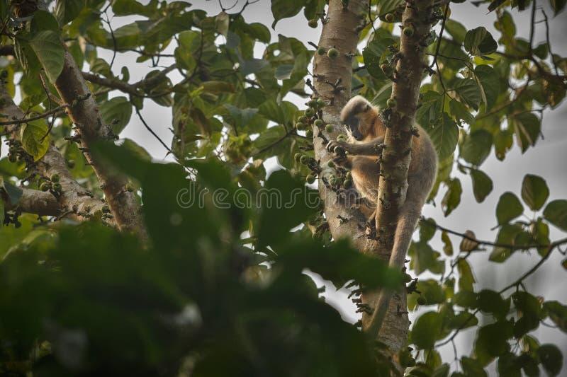 Καλυμμένος langur πίθηκος σε ένα δέντρο στη ζούγκλα στοκ φωτογραφία με δικαίωμα ελεύθερης χρήσης