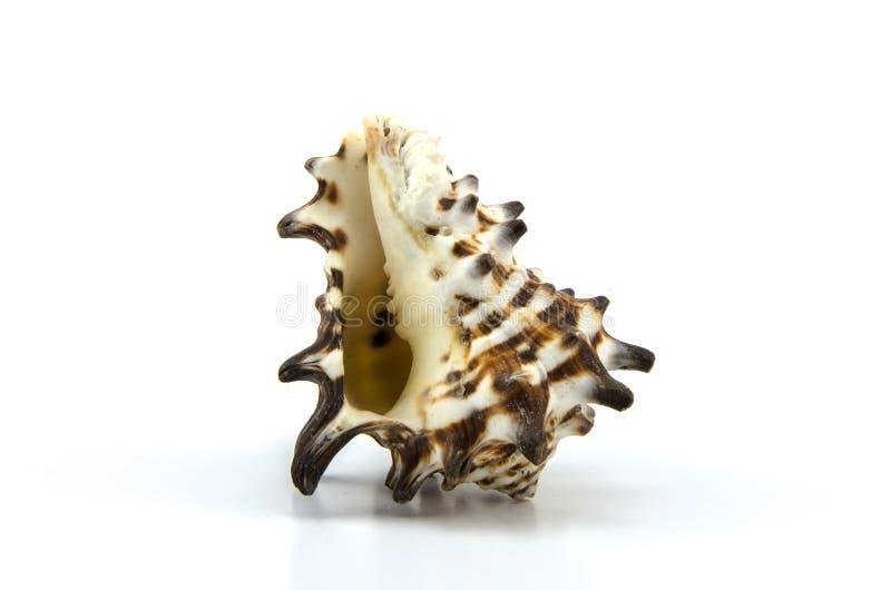 καλυμμένο λευκό στούντιο ανασκόπησης θαλασσινό κοχύλι στοκ εικόνα