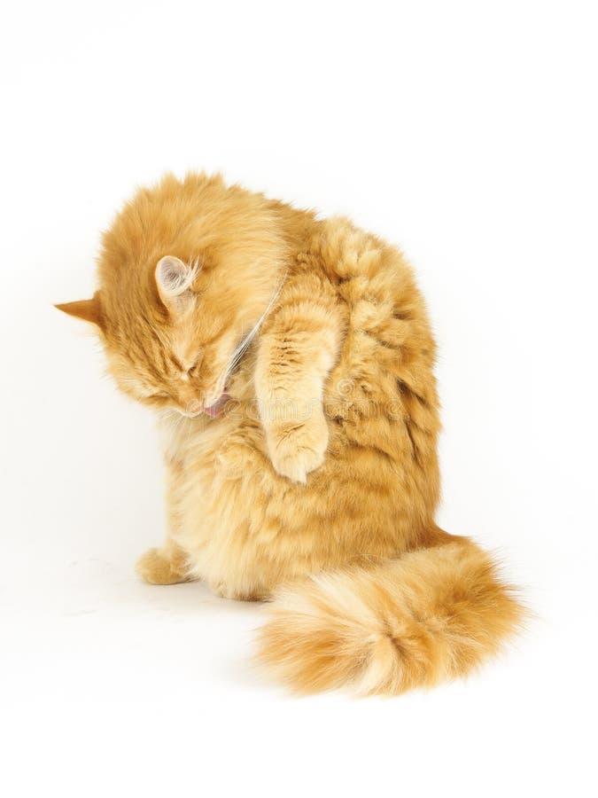 Καλλωπισμός γατών πιπεροριζών στοκ φωτογραφία με δικαίωμα ελεύθερης χρήσης