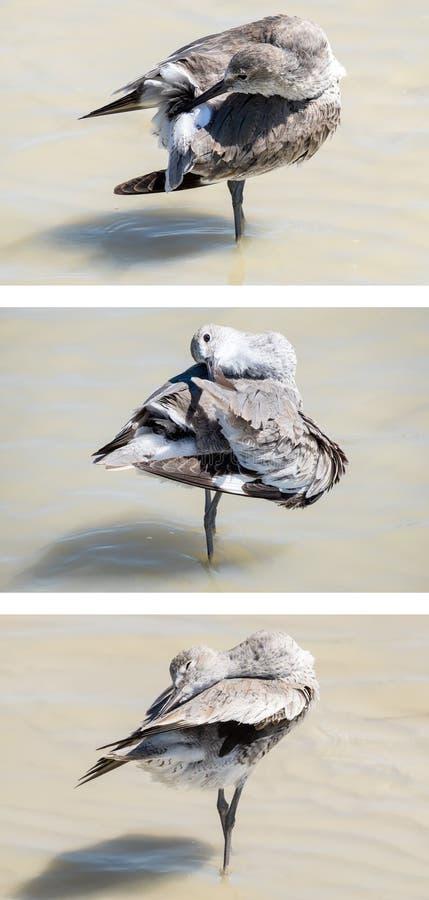 Καλλωπισμός πουλιών Willet στην παραλία στοκ εικόνα με δικαίωμα ελεύθερης χρήσης