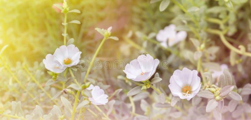 Καλός άσπρος mosss-αυξήθηκε, το λουλούδι εγκαταστάσεων Purslane ή ήλιων σε ονειροπόλο στοκ εικόνα