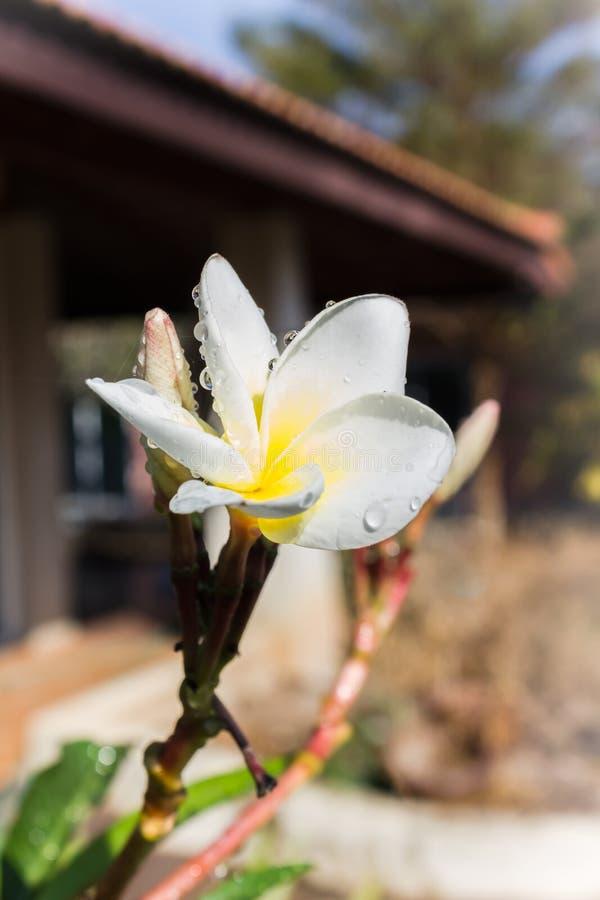 Καλό άσπρο λουλούδι με την πτώση δροσιάς στοκ φωτογραφία